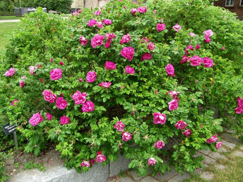 Rosa rugosa 'Dark Pavement'