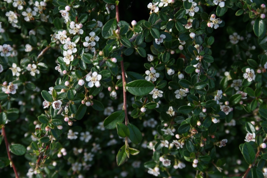 Cotoneaster dammerii 'Mooncreeper'.