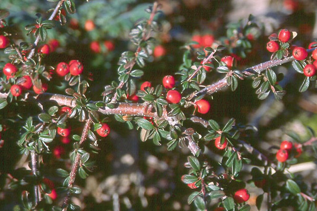 Cotoneaster dammerii 'Eichholz'.