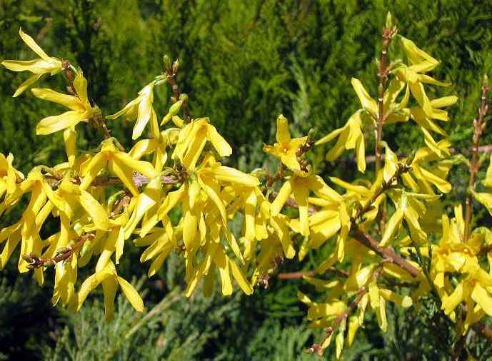 Forsythia × intermedia 'Maluch'.