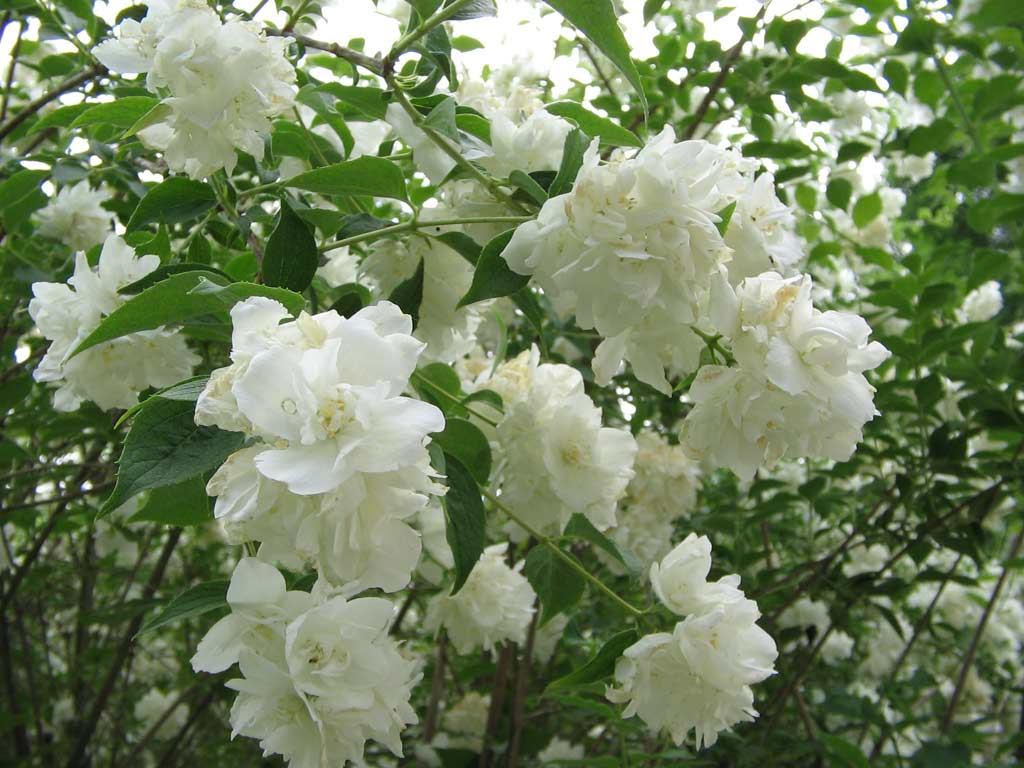 Philadelphus 'Entauchment'.