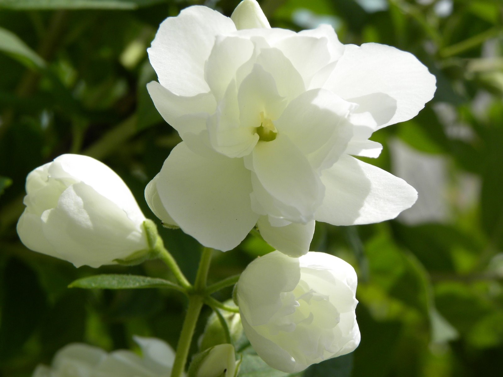 Philadelphus 'Innocence'.